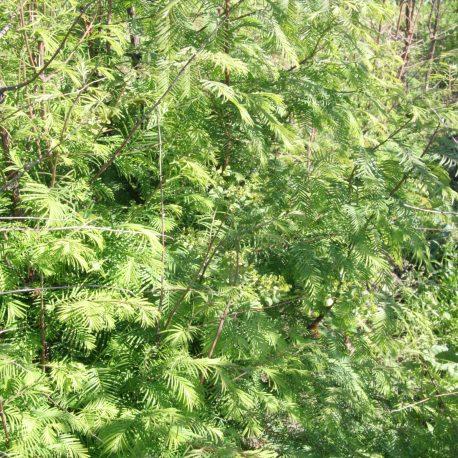 metasequoia_glyptostroboides
