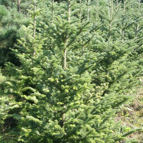 abies-veitchii