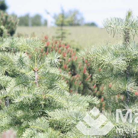 abies_concolor_1