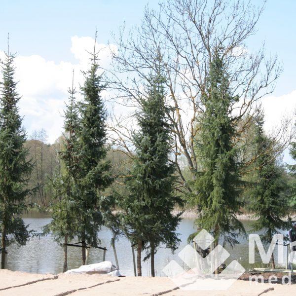 Serbinės eglės (7 metrų) pasodinti pas klientą sklype