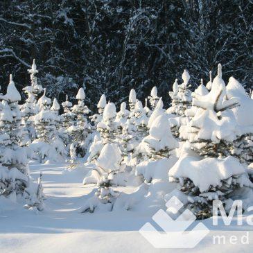 Auginti kalėdines eglaites pelninga