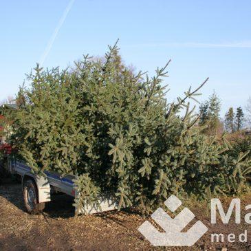 Lietuviai gaili kirsti medį