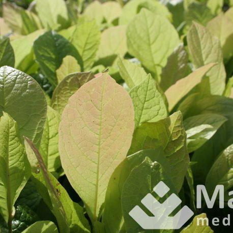 magnolia_cobus_1