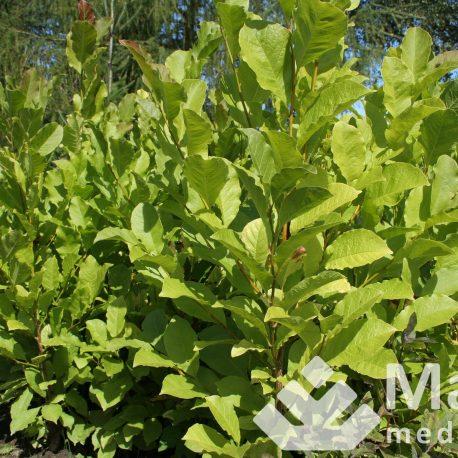 magnolia_cobus_2