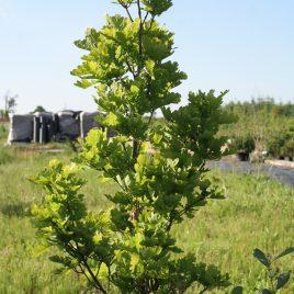 "Ąžuolas paprastasis ""fastigiata"" (Quercus robur)"