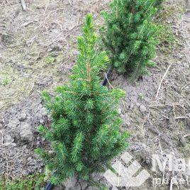 "Eglė baltoji ""conica"" (Picea glauca)"