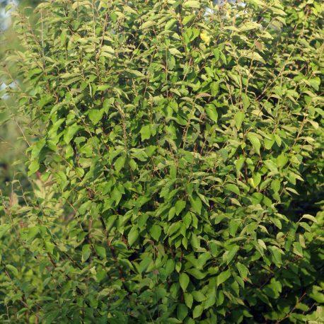 betula_maximowicziana