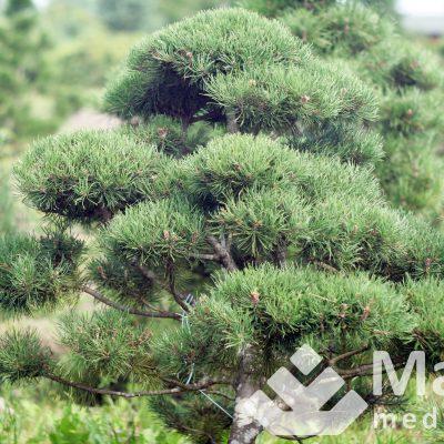 Kalninė pušis (bonsai)