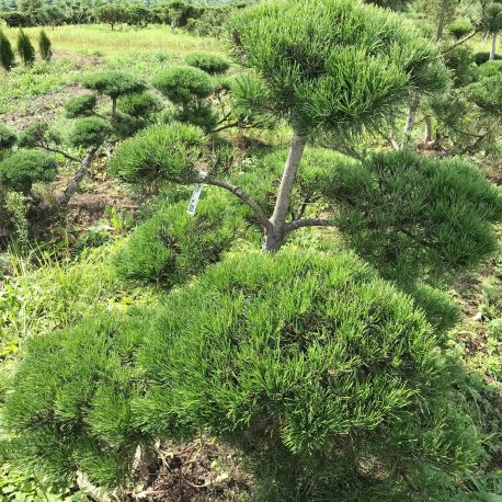 bonsai_niwaki_pinus_mugo_12