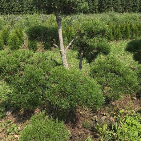 bonsai_niwaki_pinus_mugo_3