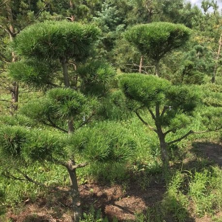 bonsai_niwaki_pinus_mugo_8