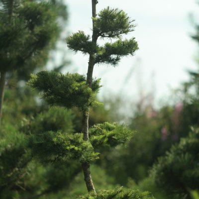 Maumedis europinis (bonsai)