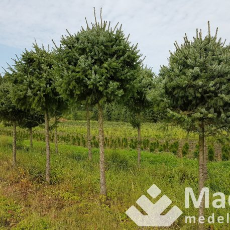 picea_omorica_shaped