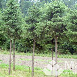 """Eglė serbinė formuota """"rutulys"""" (Picea omorika)"""