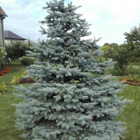 picea_pungens_after