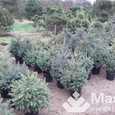picea_pungens_xmas