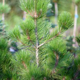 Pušis baltažievė (Pinus heldreichii syn. Pinus leucodermis)