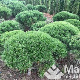 """Pušis kalninė formuota """"skėtis"""" (Pinus mugo)"""
