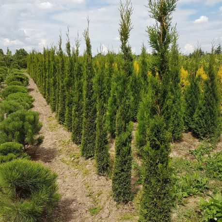 thuja_occidentalis_smaragd_cone