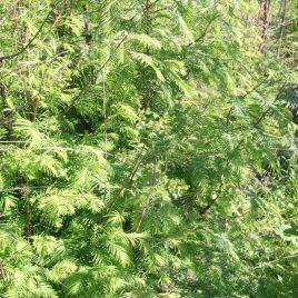 Metasekvoja tikroji (Metasequoia glyptostroboides)