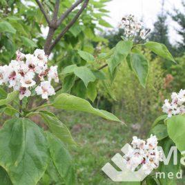 Katalpa paprastoji (Catalpa bignonioides)