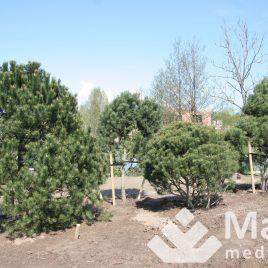 Pušis kalninė (Pinus mugo)