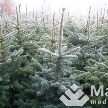 Kaimo verslas – Kalėdų medelių plantacijų veisimas