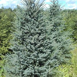 Eglė juodoji (Picea mariana)
