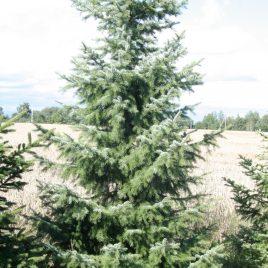 Eglė serbinė (Picea omorika)