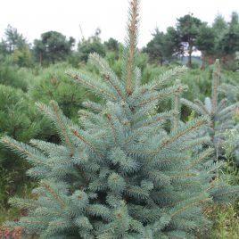 Eglė dygioji (Picea pungens)