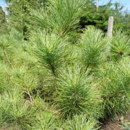 Pušis korėjinė (kedrinė) (Pinus koraiensis)