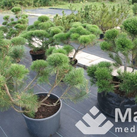 Kalninės pušys (bonsai stiliaus)