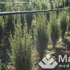 "Kadagys paprastasis ""Hibernica"" (Juniperus communis)"