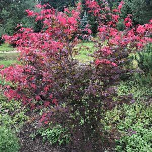 """Klevas plaštakinis """"Atropurpureum"""" (Acer palmatum)"""