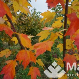 Klevas raudonasis (Acer rubrum)