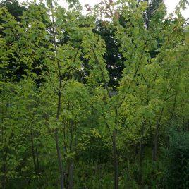 Klevas sidabrinis (Acer saccharinum)