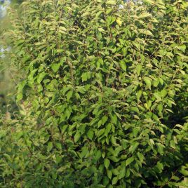 Beržas maksimovičiaus (Betula maximowicziana)