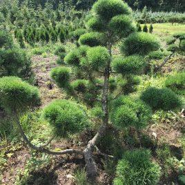 Pušis kalninė formuota sodo bonsai / niwaki (Pinus mugo)