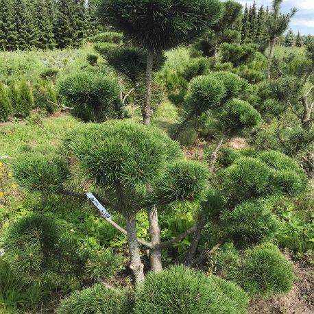 bonsai_niwaki_pinus_mugo_4