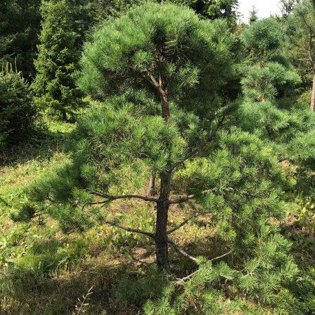 bonsai_niwaki_pinus_sylvestris_3