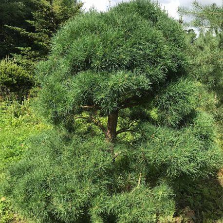 bonsai_niwaki_pinus_sylvestris_4