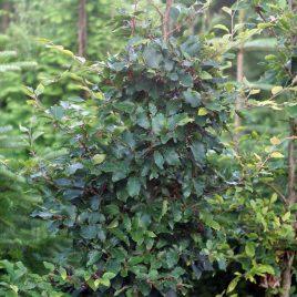 Bukas paprastasis (Fagus sylvatica)