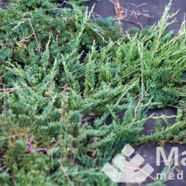 """Kadagys gulsčiasis """"wiltonii"""" (Juniperus horizontalis)"""