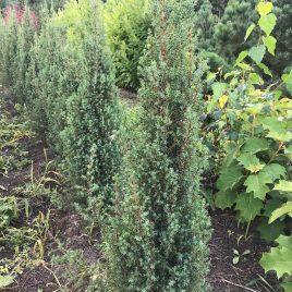 "Kadagys paprastasis ""Arnold"" (Juniperus communis)"