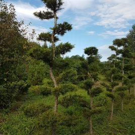 Maumedis europinis formuotas sodo bonsai / niwaki (Larix decidua)