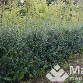 Ligustras paprastasis (Ligustrum vulgare)