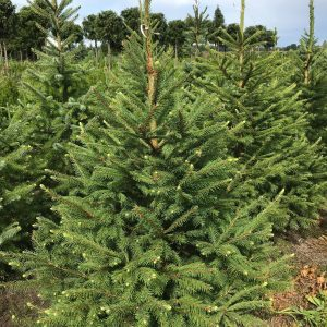 Eglė paprastoji (Picea abies)