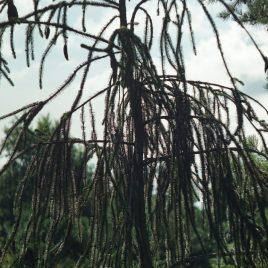 "Eglė paprastoji ""virgata"" (Picea abies)"