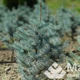 "Eglė dygioji ""Blue diamond®"" (Picea pungens)"