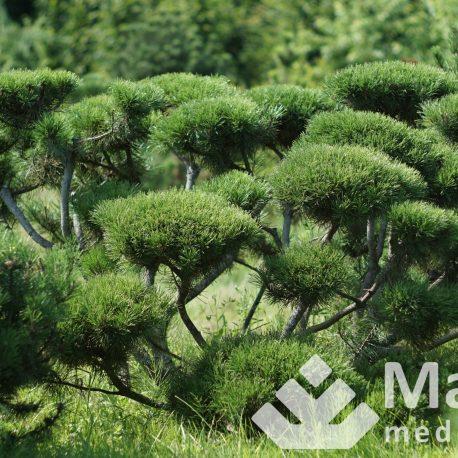 pinus_mugo_bonsai_niwaki_32
